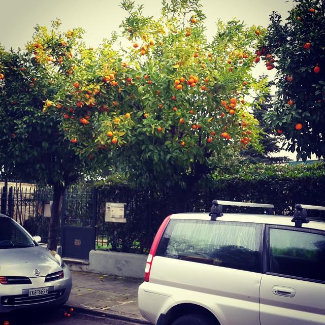 Yunanistan'da yol kenarında sürekli gözümüze ilişen #turunç ağaçları için ilk aklımıza gelen soru bunları neden toplamıyorlar olur. Tadları ekşiymiş, yenmezmiş ama pek güzel #reçel olurmuş. Bugün daldık ağaçlara ve reçel sezonunu açtık. :) Toplarken mis gibi kokusu da ellerimizde kaldı.  You can see these trees everywhere in #Greece. You can not eat them but make #jam that's what we are doing today. :) #Yunanistan #yemek #food #tat #taste #koku #smell