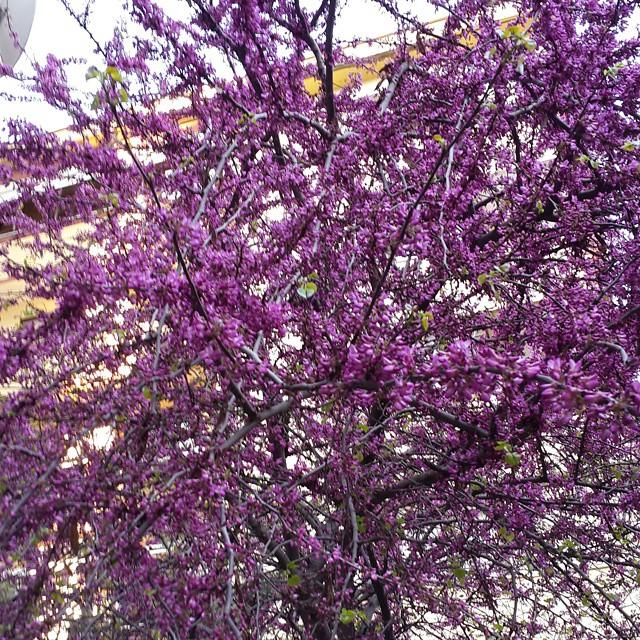 #Erguvan #judastree time for #İstanbul